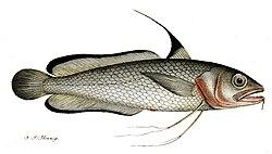 definition of gadiformes