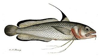 Phycidae - Greater forkbeard (Phycis blennoides)