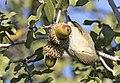 Phylloscopus collybita - Common Chiffchaff, Adana 2016-11-27 02-3.jpg