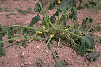 Phytophthora capsici - Symptom of blight on a pumpkin plant
