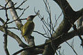 Picus.viridis.-.lindsey.jpg
