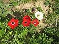 PikiWiki Israel 17651 The anemone life cycle.jpg