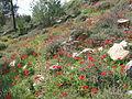 PikiWiki Israel 18877 Anemone.JPG