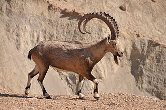Nubian ibex - Male