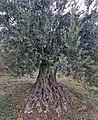 PikiWiki Israel 74004 old olive tree.jpg