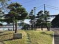 Pine trees in Mimosusogawa Park.jpg