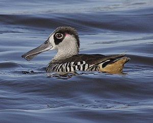 Pink-eared Duck gatton08.JPG