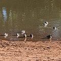 Pink-eared duck Burke River Boulia Queensland P1030185.jpg