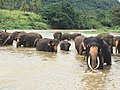 Pinnawala elephant orphanage with tusker.jpg