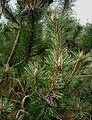 Pinus-mugo.JPG