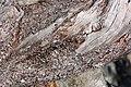 Pinus albicaulis 7014.JPG