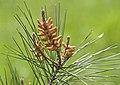 Pinus brutia - Flowers 04.jpg
