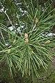 Pinus halepensis kz11 (Morocco).jpg