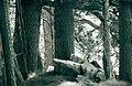 Pinus heldreichii.jpg