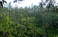 Pinus hondurensis forest Belize.jpg