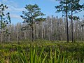 Pinus palustris Jay B Starkey Wilderness Park Florida 1.jpg