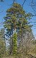 Pinus pinaster, Forêt domaniale des Avant-Monts 01.jpg