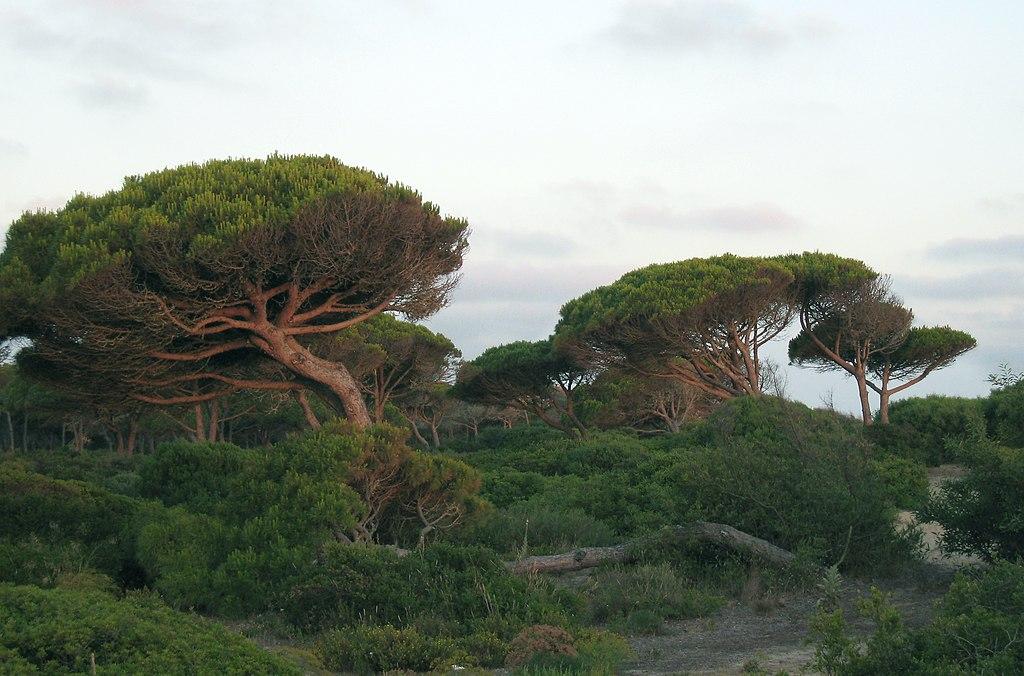 Pinus pinea Costa Sancti Petri