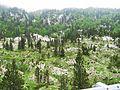 Pinus uncinata forest in karst landscape - Flickr - S. Rae.jpg