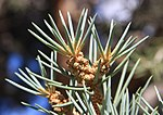 Pinyon pine Pinus monophylla needles close.jpg