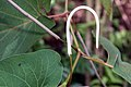 Piper auritum 25zz.jpg