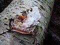 Piptoporus betulinus attachment to tree.JPG