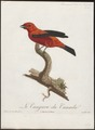 Piranga rubra - 1805 - Print - Iconographia Zoologica - Special Collections University of Amsterdam - UBA01 IZ15900229.tif