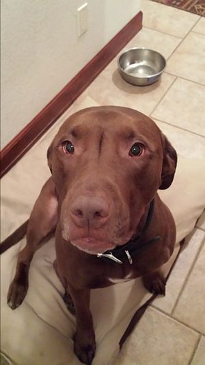Pit bull - Pit bull/chocolate lab mix