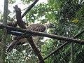 Pithecophaga jefferyi -Philippine Eagle Center, Davao City, Philippines-8a (1).jpg