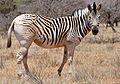 "Plains Zebra (Equus quagga burchellii) showing the disappearance of stripes characteristic of the ""Quagga"" proper now extinct ... (32949761572).jpg"