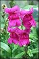 Plant - Grote Leeuwenbek - Antirrhinum majus-01.jpg