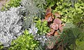 Plantes dans un espace vert a la ville de Tarfaya.jpg