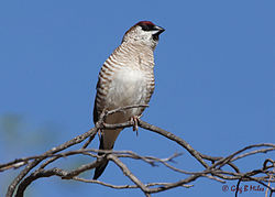 Plum-headed Finch-Neochmia modesta.jpg