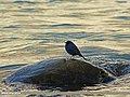 Plumbeous Water Redstart (Rhyacornis fuliginosa) (15892806971).jpg