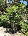 Plumeria obtusa 'Costa Rica' - Naples Botanical Garden - Naples, Florida - DSC00058.jpg