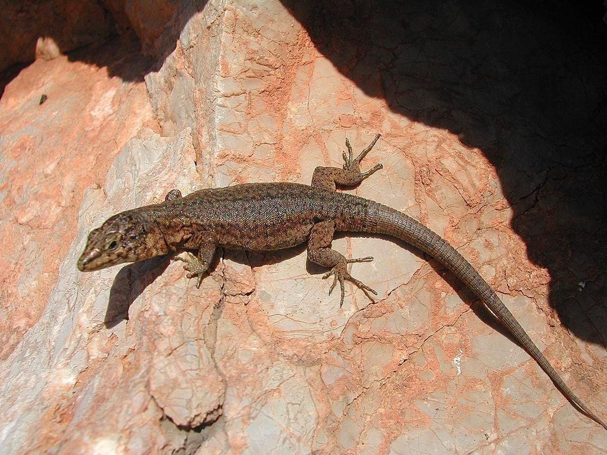 Lilford's wall lizard - Wikipedia Animalia
