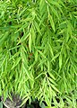 Pogonatherum paniceum kz01.jpg