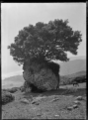 Pohutukawa tree growing on the top of a large rock at Piha. ATLIB 289363.png