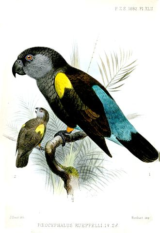 Rüppell's parrot - Old painting, female in foreground