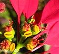 Poinsettia (4644783520).jpg