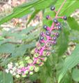 Pokeweed berries.jpg