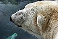 Polar Bear (8803969278).jpg