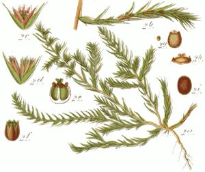 Polycnemoideae - Polycnemum arvense, Illustration