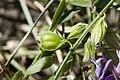 Polygala vulgaris sabliere-morriere-plailly 60 01072008 08.jpg