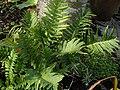 Polypodium vulgare 1b.JPG
