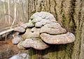 Polyporaceae3.jpg