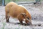 Potamochoerus porcus digging at Lowry Park Zoo.JPG