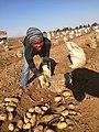 Potato picker in Limpopo.jpg