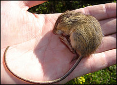 240px preble%27s meadow jumping mouse (8797200631)