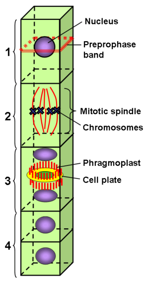 Preprophase band - The preprophase band predicts the cell division plane: 1) Preprophase band formation during preprophase. 2) Metaphase spindle orients with the equator along the plane marked by preprophase band. 3) Phragmoplast and cell plate form along the plane marked by preprophase band. 4) The new cell wall of the daughter cells connects with the parent cell wall along the line of the former preprophase band location.